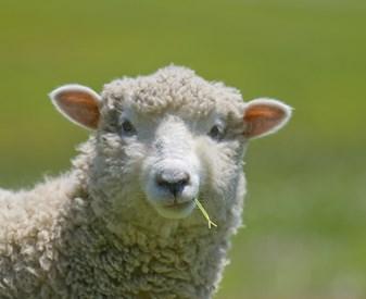 pic sheep