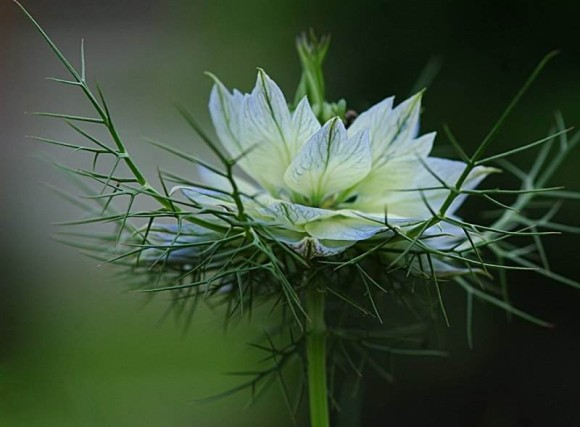 """A Lily Among Thorns"""" (Song 2:2) 